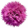 Fruit Punch Spiked Punch Pinks Dianthus Pink Flower Up Close