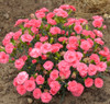 Fruit Punch Classic Coral Pinks Dianthus in Landscaping
