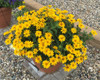 Tuscan Gold False Sunflower in Planter
