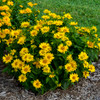 Heliopsis Tuscan Gold in Landscape