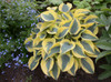 Shadowland Autumn Frost Hosta in Landscaping