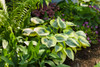 Shadowland Autumn Frost Hosta in Perennial Shade Garden