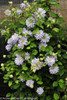 Diamond Ball Clematis Vine in Landscaping