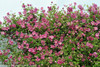 Pink Mink Clematis Vine Blooming Pink