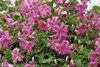 Pink Mink Clematis Vine Blooming