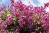 Pink Mink Clematis Vine with Pink Blooms