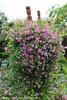 Pink Mink Clematis Vine in Landscape