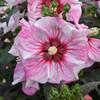 Summerific Cherry Choco Latte Hibiscus Pink White Blooms
