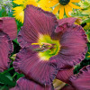 Rainbow Rhythm Nosferatu Daylily with Dark Purple Bloom