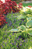 Shadowland Seducer Hosta in Perennial Garden