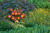 Rainbow Rhythm Ruby Spider Daylily in Landscape