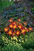 Hemerocallis Ruby Spider in Landscape