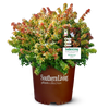 Kaleidoscope Abelia in Branded Pot Main