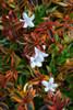 Orange Kaleidoscope Abelia Variegated Leaves and Flowers