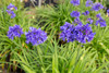 Ever Midnight Agapanthus