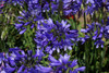 Dark Ever Sapphire Agapanthus Flowers Up Close