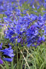 Little Blue Fountain Agapanthus Plants Blooming