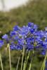 Little Blue Fountain Agapanthus Flowers Up Close