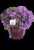 Autumn Lilac Encore Azalea in Branded Pot