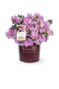 Autumn Sweetheart Encore Azalea in Branded Pot