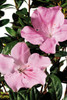 Autumn Sweetheart Encore Azalea Shrub Blooming