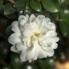 White October Magic Ivory Camellia Flower and Foliage Main