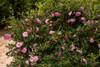 October Magic Pink Perplexion Camellia Shrub