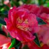 October Magic Rose Camellia Flower Petals Up Close Main