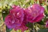 October Magic Rose Camellia Flowers