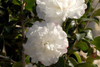 October Magic Snow Camellia Stems With Flowers