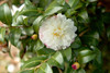 October Magic Snow Camellia Foliage and Blooms