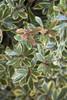 Juliet Cleyera Shrub Foliage