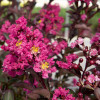 Pink Delta Fusion Crapemyrtle Flowers Main