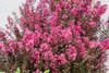 Delta Fusion Crapemyrtle Shrub Flowering