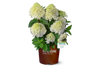 White Wedding Hydrangea in Branded Pot