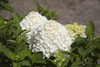 White Wedding Hydrangea Foliage and Flowers