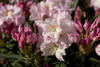 Southgate Breeze Rhododendron