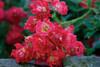 Red Drift Rose Flower Petals Close Up