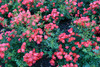 Red Drift Rose Groundcover Blooming
