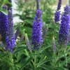 Dark Blue Moody Blues Veronica Flowers Main