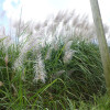 Pampas Grass with Sky Background