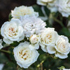 White Drift Rose Flowers Close Up Main
