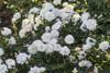 White Drift Rose Shrub Covered in Blooms