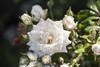 White Drift Rose Flower Buds