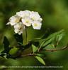 Reeves Spirea White Blooms