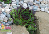 Chick Charms Appletini Sempervivum With Rocks and Pebbles