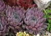 Chick Charms Berry Blues Sempervivum in Succulent Garden