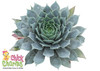 Small Chick Charms Berry Blues Sempervivum