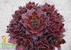 Chick Charms Berry Bomb Sempervivum in a Small Pot