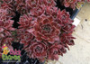 Chick Charms Berry Bomb Sempervivum Hens and Chicks